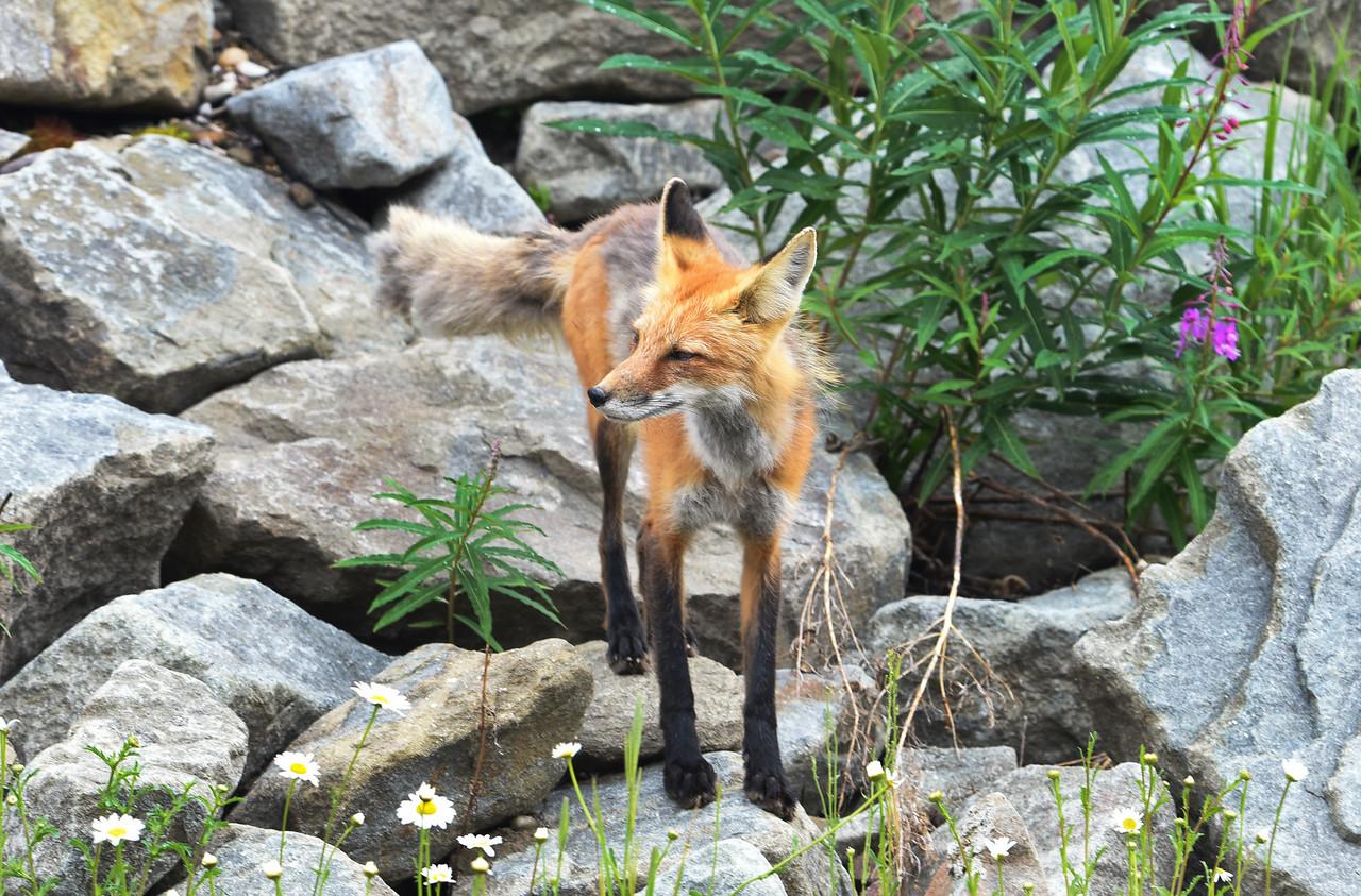 Fox-DSC_1124