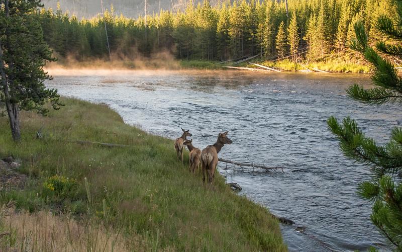 Elk on Madison River-Dawn