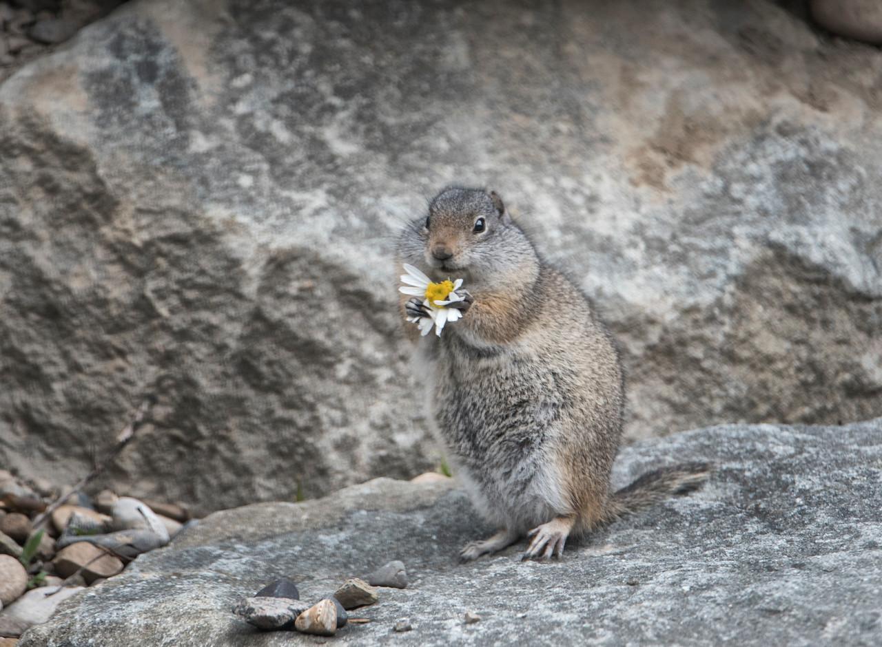 Hyrax eating daisy-2-DSC_1108