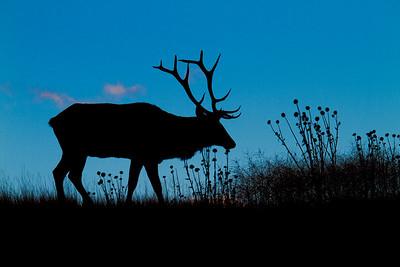 Rocky Mountain Elk, National Bison Range, Montana (1 of 6)