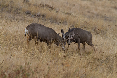 Mule Deer, National Bison Range, Montana (1 of 6)