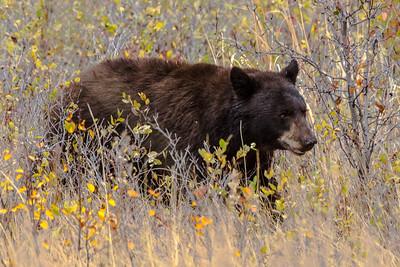 Montana - American Black Bear (1 of 1)-1