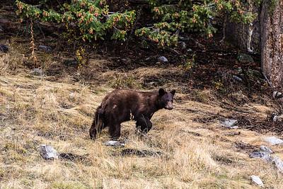 Montana - American Black Bear cub (1 of 1)-13