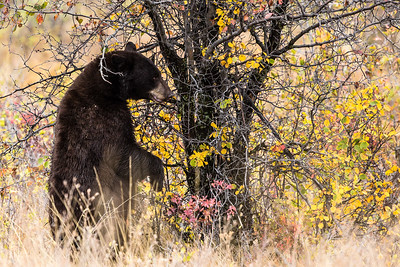 Montana - American Black Bear - Mature with two cubs (4 of 4)-12