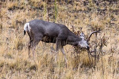 Montana - Mule Deer - Buck trashing after profiling (1 of 1)-2-6