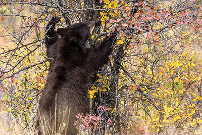 Montana - American Black Bear - Mature with two cubs (2 of 4)-1