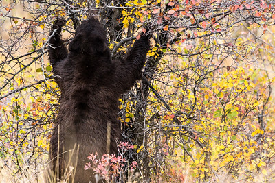 Montana - American Black Bear - Mature with two cubs (3 of 4)-11