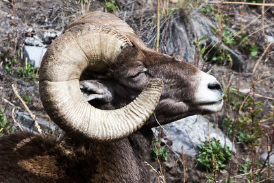 Montana - Big Horn Ram - Loving the sun-1186-1