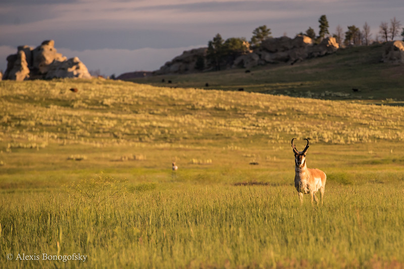 Pronghorn in southeast Montana