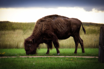 Bison at Theodore Roosevelt State Park, ND