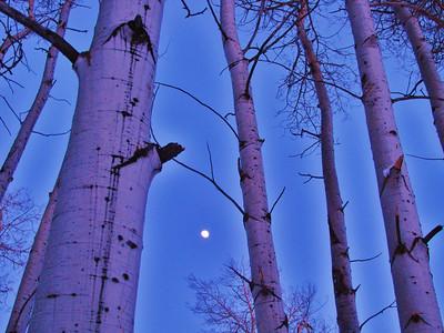 Moon through the Aspens