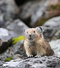 Cute pika, an animal related to rabbits that lives on rocky slopes