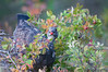 Grouse feeding on berries