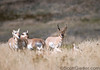 Herd of Pronghorn antelope, with one male in charge of the females. The male is having a bad hair day.