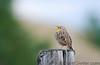 Singing bird, early morning