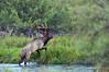 Elk crossing a stream, with a deer watching.