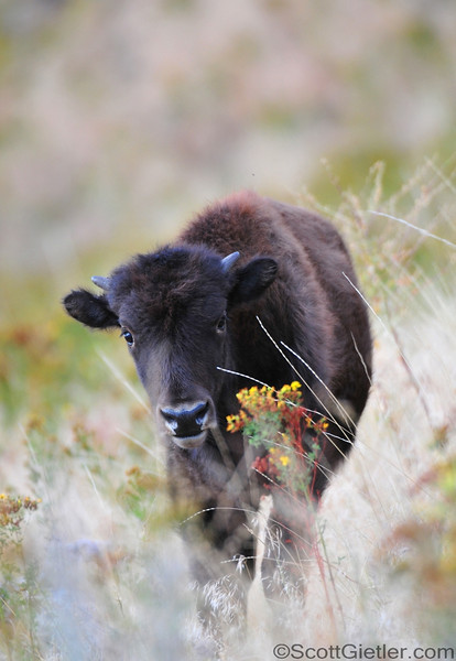 Baby bison passing by some wildflowers