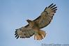 Hawk shot from below, taken mid-day
