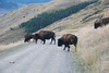 Bison making an early morning road crossing