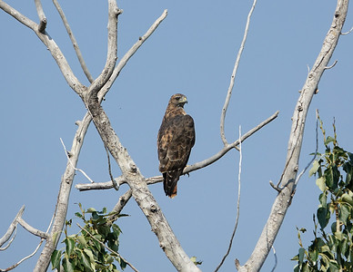 Red tail hawk. Paradise Valley MT
