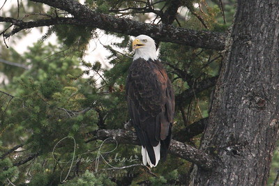 Bald Eagle trying to tell us something