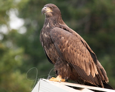 Young Bald Eagle on a boat house near our cove