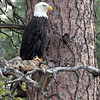 More Bald Eagles on Wild Horse Island