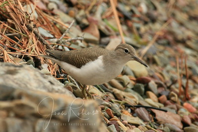 Young Spotted Sandpiper (no spots yet!)