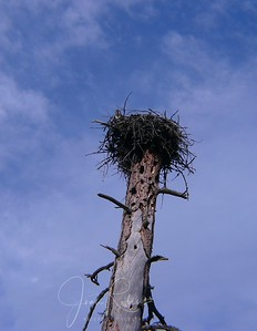 Osprey nest with Mom looking down.