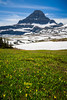 Glacier lilies blooming in the meadows with Mount Reynolds at Logan Pass in Glacier National Park, Montana, USA.