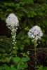 Beargrass flowers blooming in the Swiftcurrent Lake region of Glacier National Park, Montana, USA.