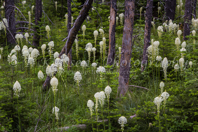 Beargrass wildflowers in the forest in the Swiftcurrent Lake region of Glacier National Park, Montana, USA.