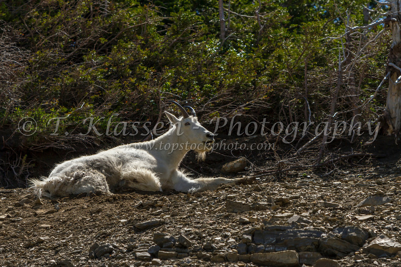 A mountain goat resting in the shade in Glacier National Park, Montana, USA.
