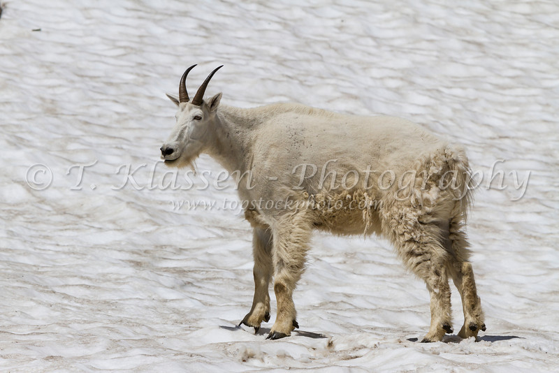 A mountain goat in the snow in Glacier National Park, Montana, USA.