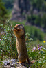 A Columbian Ground Squirrel in Glacier National Park, Montana, USA.