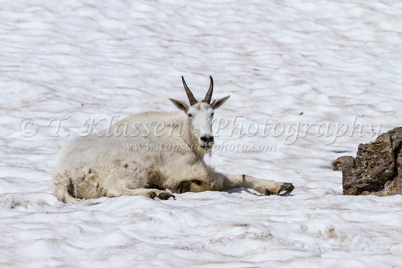 A mountain goat resting in the snow in Glacier National Park, Montana, USA.