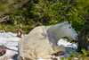 A mountain goat in molt resting under a tree near Logan Pass, Glacier National Park, Montana, USA.