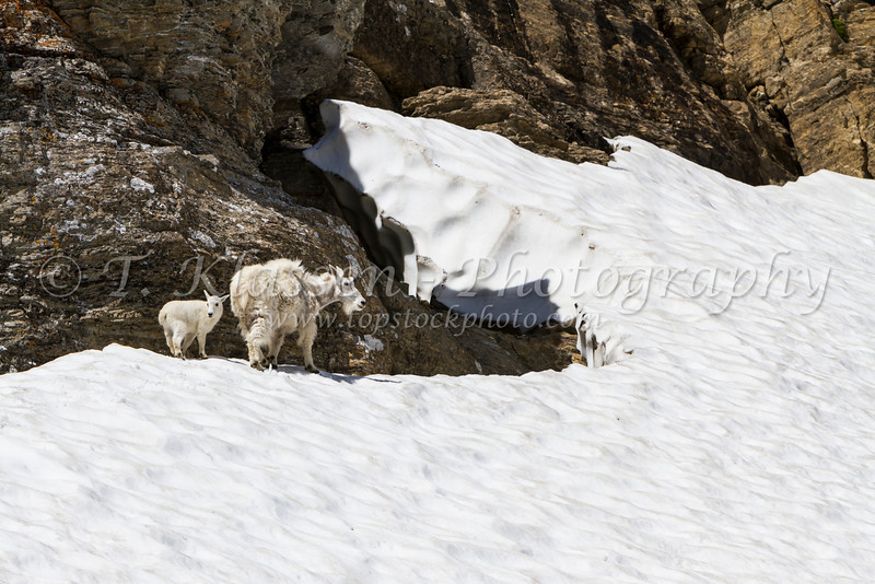 Mountain goats in the snow in Glacier National Park, Montana, USA.