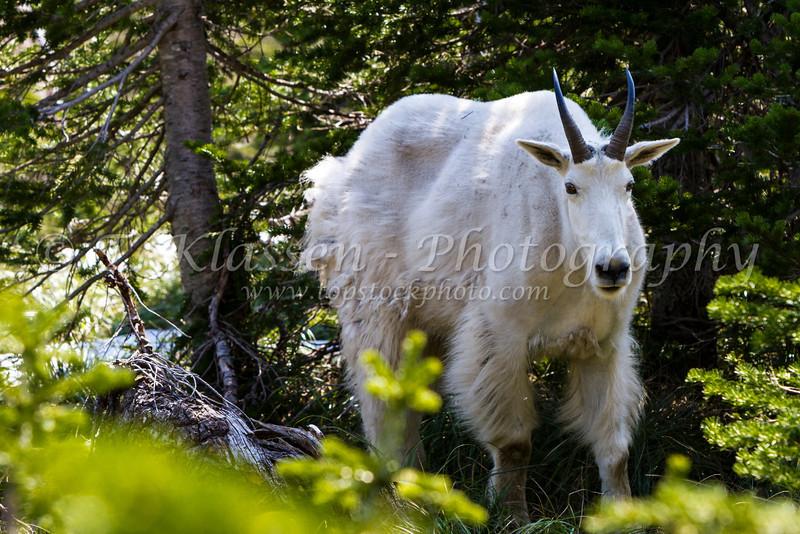 A mountain goat in molt near Logan Pass, Glacier National Park, Montana, USA.