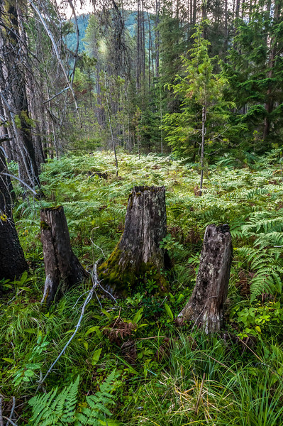 Forest Bed - Glacier National Park, MT, USA