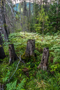 Forest Bed - Glacier National Park, MT, USA