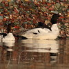 Young male Mergansers . . .