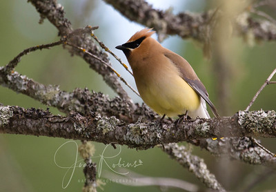 Cedar Waxwing--they fly in flocks along the edges of the lake. Lovely birds.