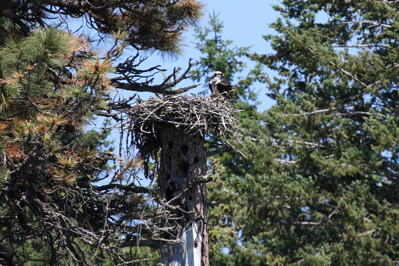 New nest on the same site as the nest that came down in a storm.