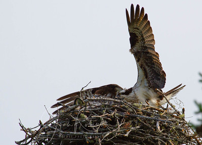 The day of July 3--this is one of the last few times the mom Osprey entered the nest. After this, no sign of chicks at all, and parents lamenting loudly.