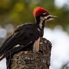 On my walk this morning, heard a pair of Pileated Woodpeckers. They seem quite young and small by comparison to adults.