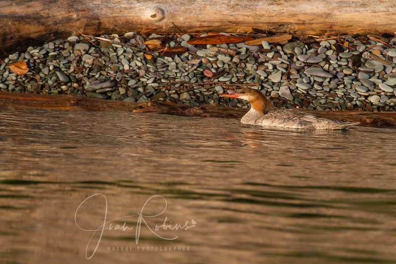 Everything is Merganser coloring here . . .