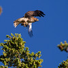 Red_tail fleeing from crows