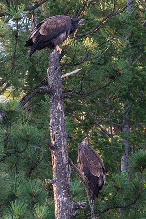 Mom was in the next tree--both babies crying and crying