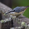 Nuthatch on the deck. Notice the huge talons, enabling him or her to climb trees right-side up or upside down.